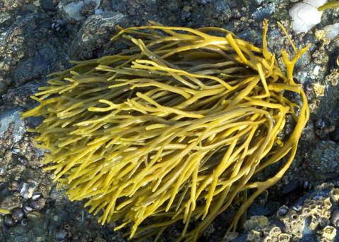 Rockweed Silvetia Compressa