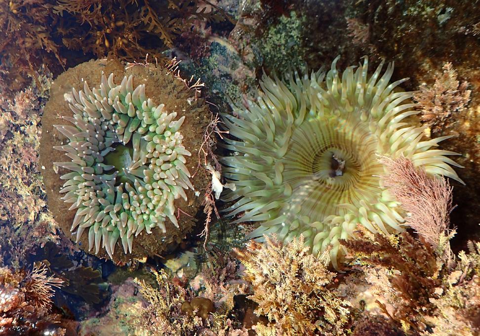 Anemone Natural History