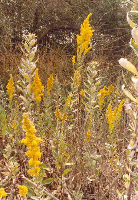 California Goldenrod Solidago Californica Nutt