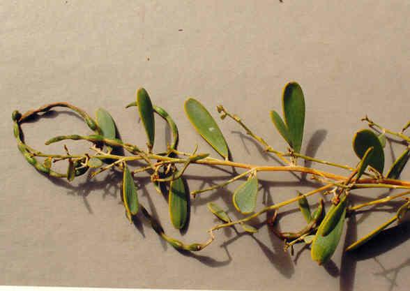 Acacia Redolens Maslin