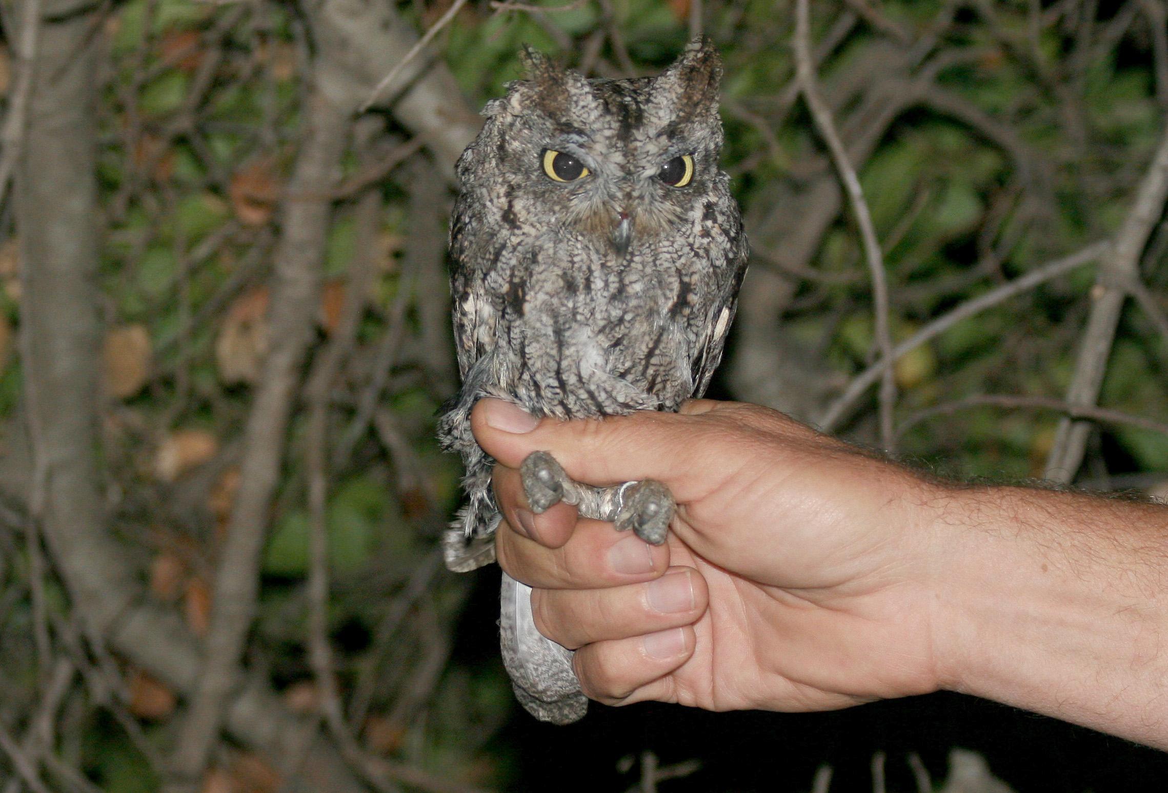 Western screech owl otus kennicottii