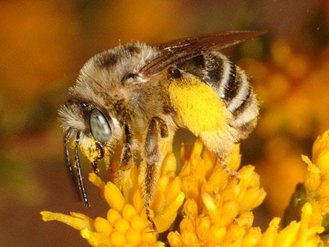 Female Big Canyon Upper Newport Bay Beach Orange County California USA 10 29 06 C Peter J Bryant Digger Bee