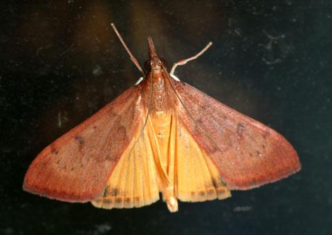 Genista Broom Moth Uresiphita Reversalis