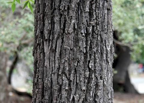 California Black Walnut, Juglans californica