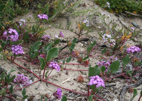 Pink Sand Verbena Beach Sand Verbena Abronia Umbellata