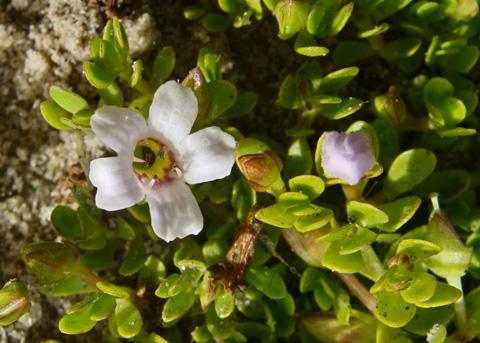 http://nathistoc.bio.uci.edu/plants/Plantaginaceae/Bacopa%20monnieri/Bacopa%20monnieri3.jpg