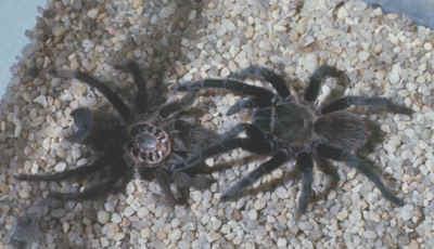 Tarantula Spider Aphonopelma Iodius