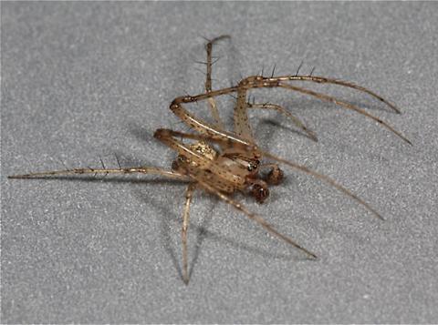 Pirate Spider Pirate spider, mimetus