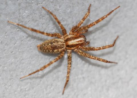 Funnel Weaver  Agelinidae Bowl And Doily Weaver Spider